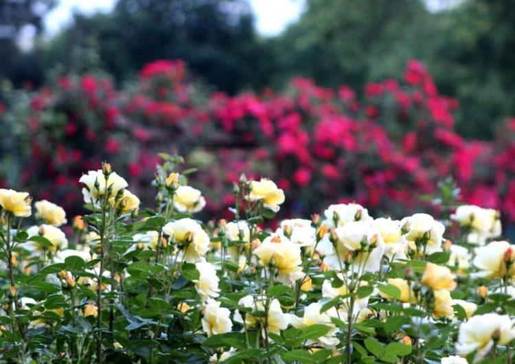 Най-големият и богат Розариум у нас е в Добрич, цъфтят хиляди цветя