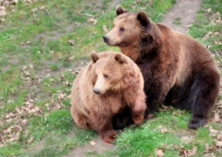 Мечките в зоопарка в Добрич подготвят дома си за зимен сън